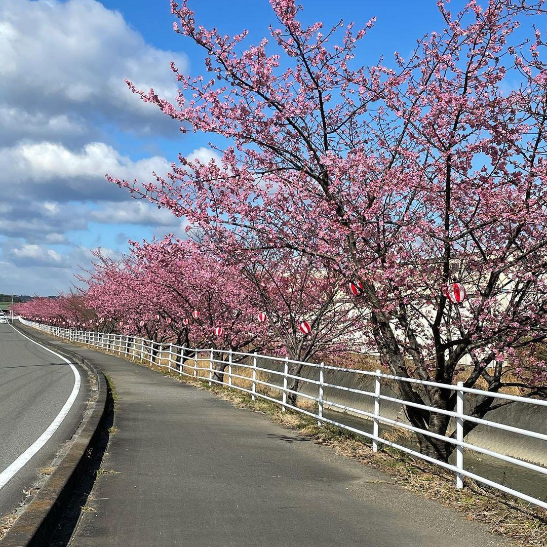 ☆坂部の河津桜まつり
