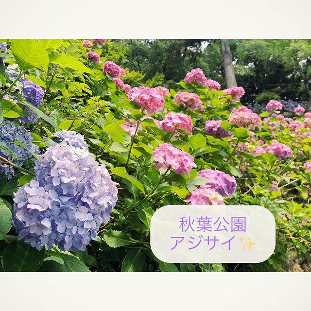 ☆秋葉公園 紫陽花☆